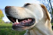 foto of dog teeth  - happy labrador retriever portrait - JPG