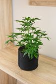 Planting Cannabis. Grow Legal Recreational Marijuana. Home Cannabis Grow Operation. Hemp Marijuana F poster
