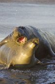 Elephant Seals mate on San Simeon Beach