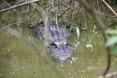 picture of gator  - This large gator was hanging out in the brush in South Florida pondering his next meal.  ** Note: Slight blurriness, best at smaller sizes  - JPG