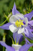 Blue Columbine flower