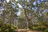 Bosque australiano