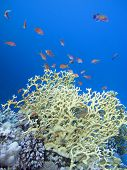 Colorful Coral Reef On The Bottom Of Tropical Sea, Great Fire Coral, Underwater Landscape poster