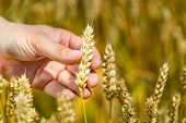 Mans Hand Touching Wheat Ears Closeup. Hand Of Farmer Touching Wheat Corn Agriculture. Harvest Conce poster