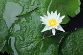 White Lotus Blossom In The Atmosphere After The Rain, The White Lotus Floats On The Surface Water An poster