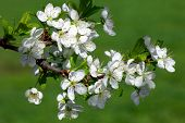 Apple Blossom Branch. Close-up.