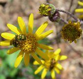 Green Bug On Yellow Flower