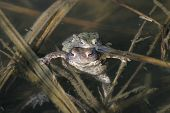 Two Frogs In Water
