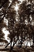 Burst Of Sunlight Through Oaks In Sepia
