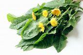 spring dandelions for tasty salad