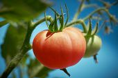 Red tomato in tomatoes orchard field homestead farm poster