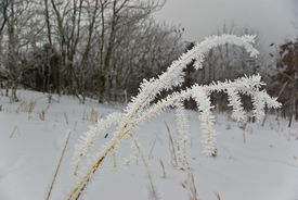stock photo of fescue  - Fescue Bent Under The Weight Of Heavy Hair Like Frost - JPG