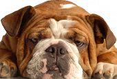 Bulldog Face On