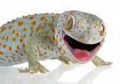 stock photo of gekko  - Tokay gecko  - JPG