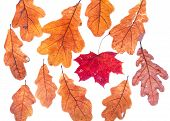 Red Dried Autumn Maple Leaf Surrounded By Oak Leaves