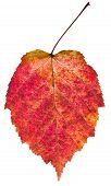 Autumn Red Aspen Leaf