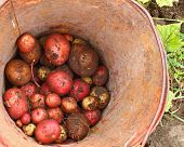 Potatoes in Bucket