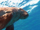 foto of sea cow  - dugong known as sea cow in red sea in egipt - JPG