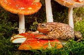 Toad Is Sitting On Amanita On White