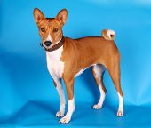 Basenji dog on blue