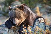 Grizzly Bear looking under rock for grubs