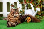 picture of household farm  - Brown Tabby Maine Coon in studio garden - JPG