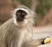 Vervet Monkey Eating An Orange