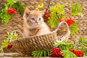 foto of mountain-ash  - Cute red British kitten sitting in a basket with an autumn mountain ash - JPG
