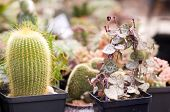 pic of sand lilies  - A group of different succulents in pots - JPG