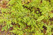 Arbusto Juniperus communis con bayas de enebro salvaje