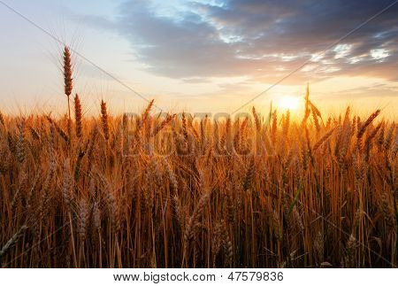 Wheat Field Over Sunset poster