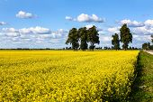 Meadow Of Yellow Rapeseed And Sky With Clouds