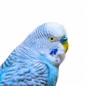 image of parakeet  - Closeup view of a blue parakeet isolated on a white background
