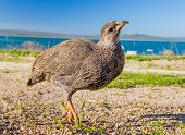 Curious Cape Francolin