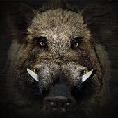 image of taxidermy  - wild  face boar portrait in black background - JPG