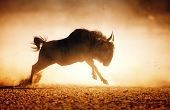 picture of wildebeest  - Blue wildebeest running in dust  - JPG
