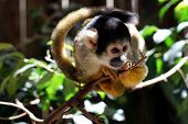 stock photo of marmosets  - Common Marmoset  - JPG