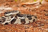 Northern Pine Snake
