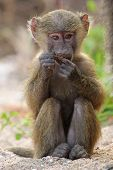 Baby Olive Baboon (papio Anubis) Sitting