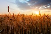 stock photo of harvest  - Golden Wheat field over sunset with sun - JPG