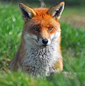 Red Fox 1