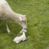 Ewe Cleaning Newborn Lamb  Square