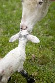 Ewe Kissing Newborn Lamb