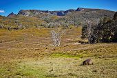 Amazing View With Wombat Eating Grass