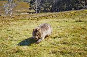 stock photo of wombat  - Wombat crossing grasslands in the Cradle Mountain Lake St Clair National Park in Tasmania Australia - JPG