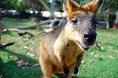 picture of wallabies  - Wallaby at park - JPG