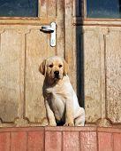 Happy Yellow Labrador Puppy At The Door