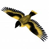 image of songbird  - 3D digital render of a flying songbird goldfinch isolated on white background - JPG