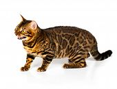 stock photo of bengal cat  - Bengal cat with reflection on white background - JPG
