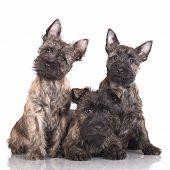 adorable cairn terrier puppies
